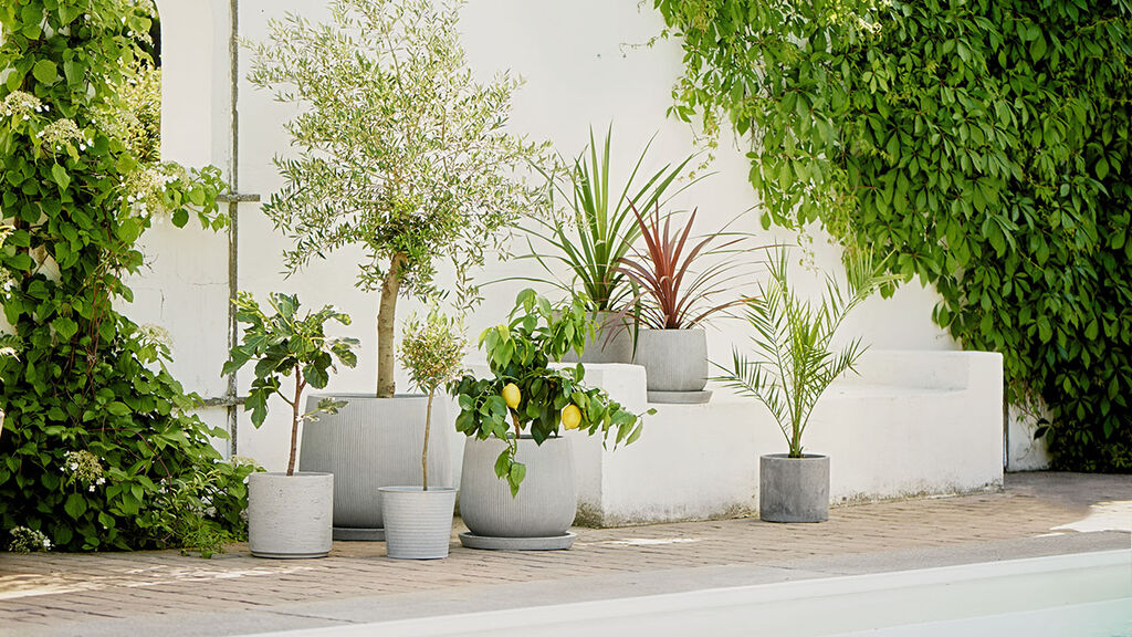 Övervintra medelhavsväxter såsom citrus- och olivträd