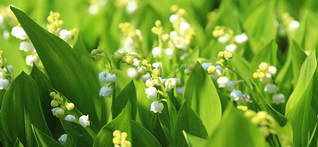 Odla liljekonvalj i din trädgård – Plantagen | Plantagen