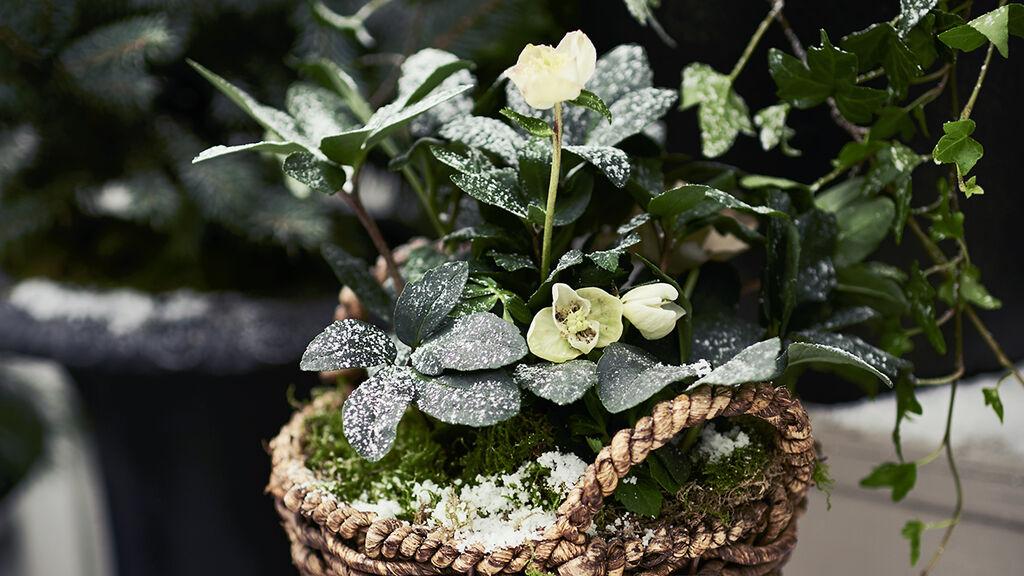 Låt frosttålig grönska skapa magi i vinterträdgården