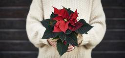 Julväxter som presenter