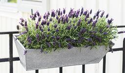 Lavendel - så lyckas du
