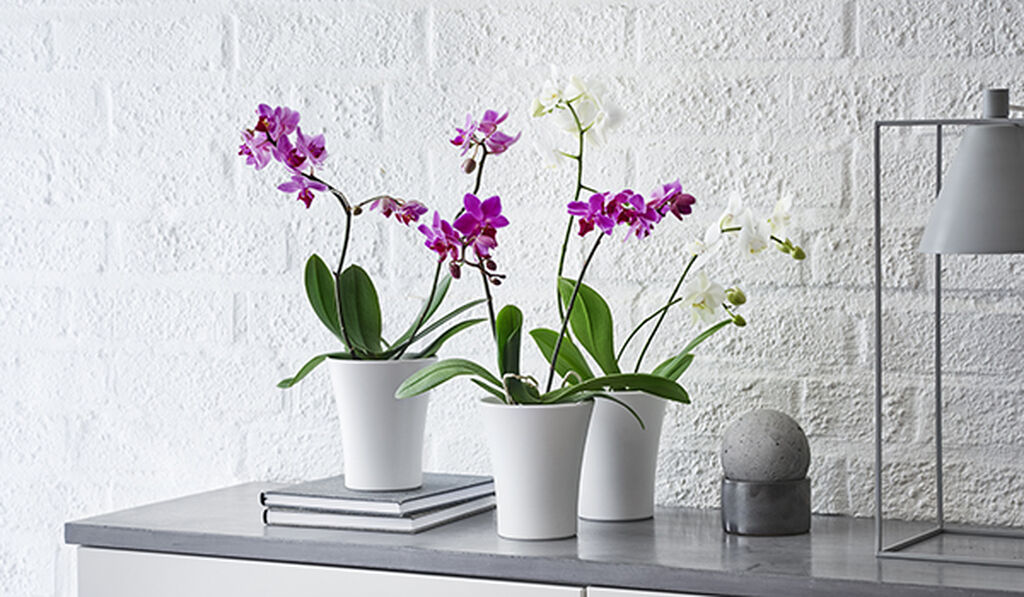 Orkidéer - så lyckas du