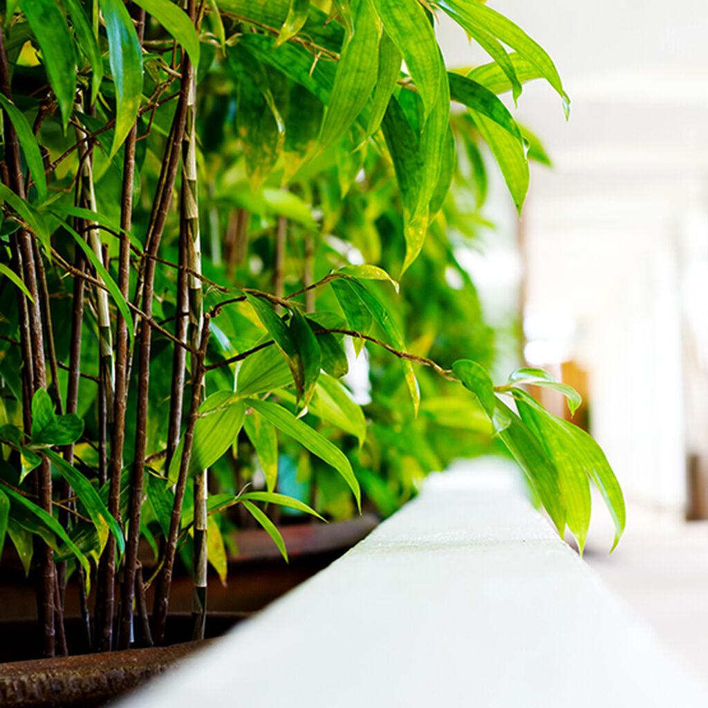 Bambu - så lyckas du!