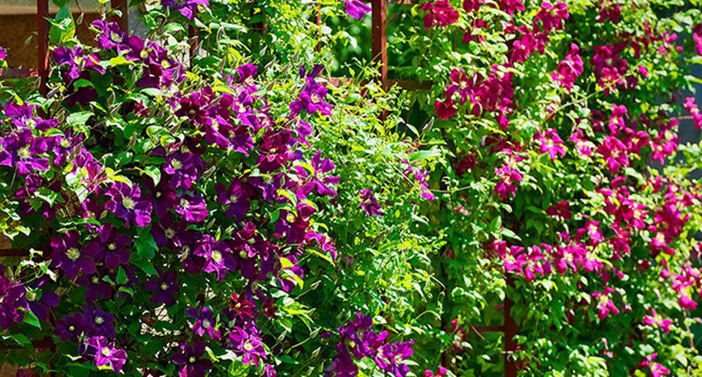 Klätterväxter  - så lyckas du