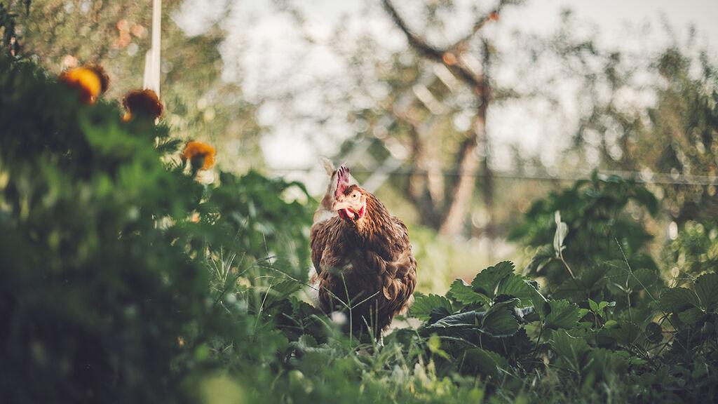 Gödsel från djur – en fin resurs i trädgården