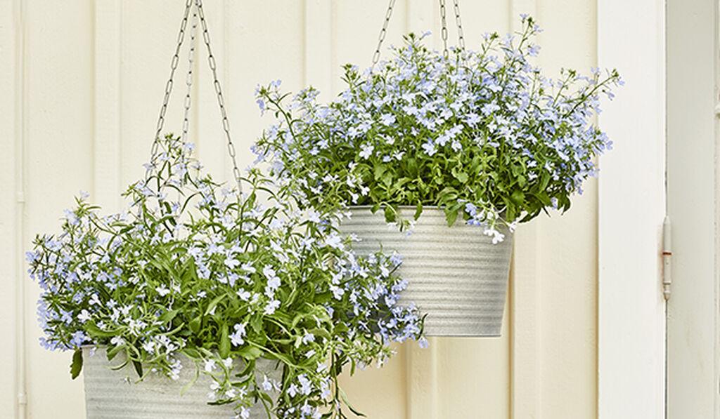 Blommor i ampel – så lyckas du