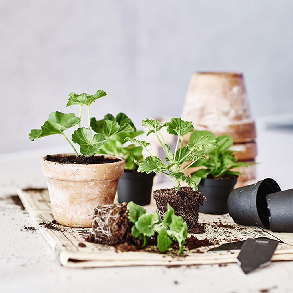 Föröka krukväxter med sticklingar