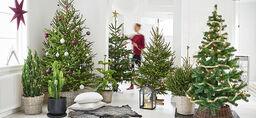 Lyckas med julgranen – så gör du