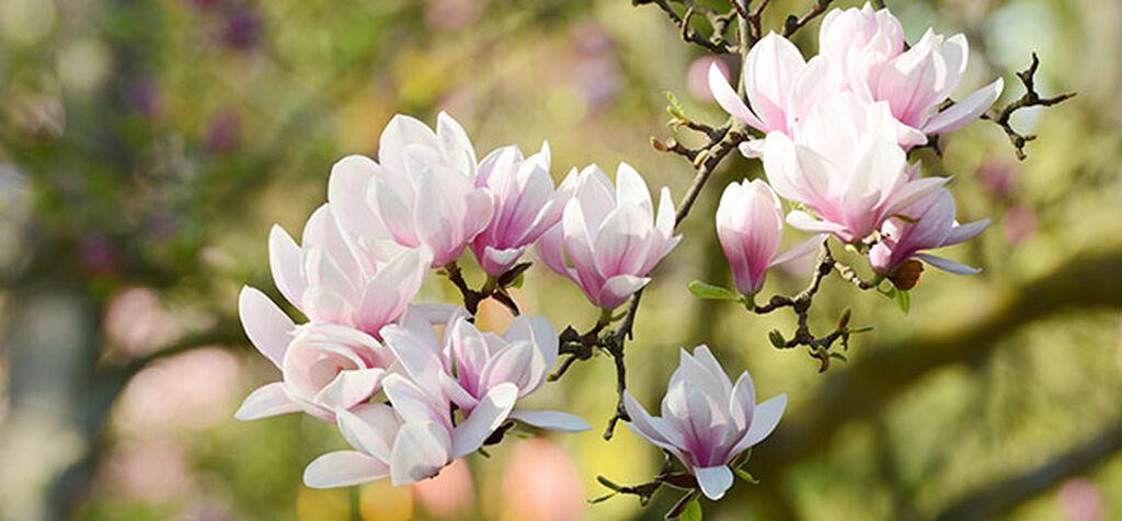 Magnolia - så lyckas du