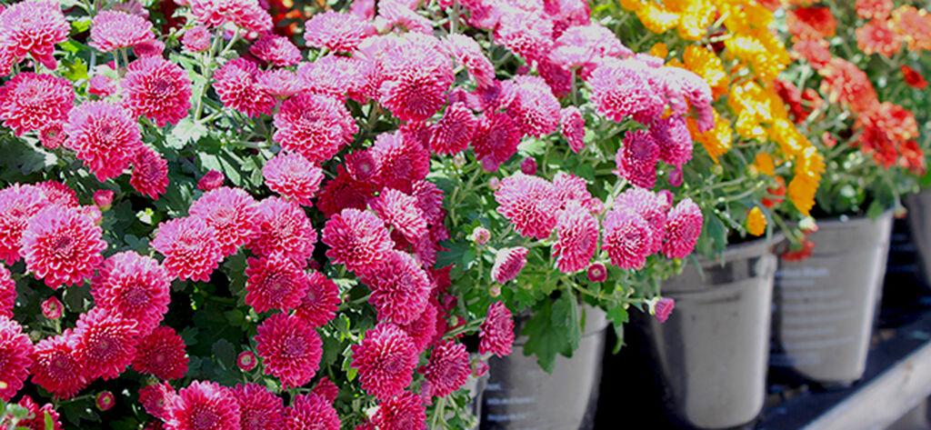 Bollkrysantemum (Bollkryss)