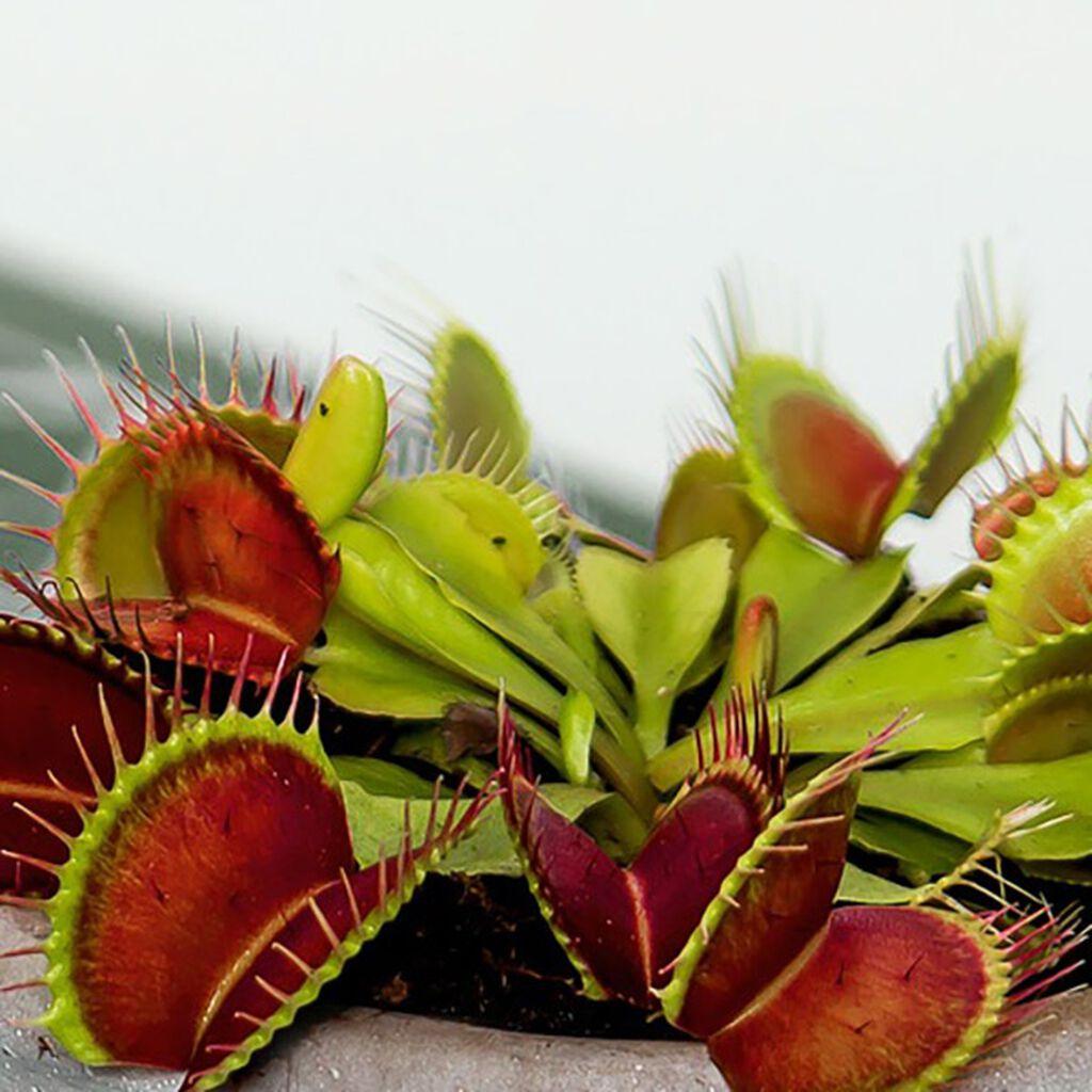 Köttätande växter, så funkar det