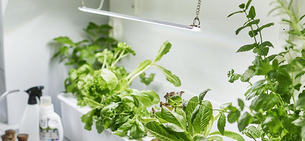 Växtbelysning ger grönska och skörd året om