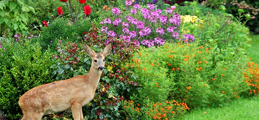 Håll rådjuren borta från trädgården