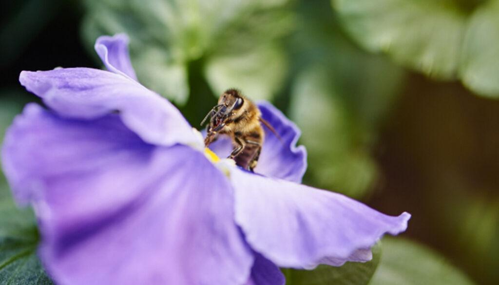 Locka pollinerare till din odling