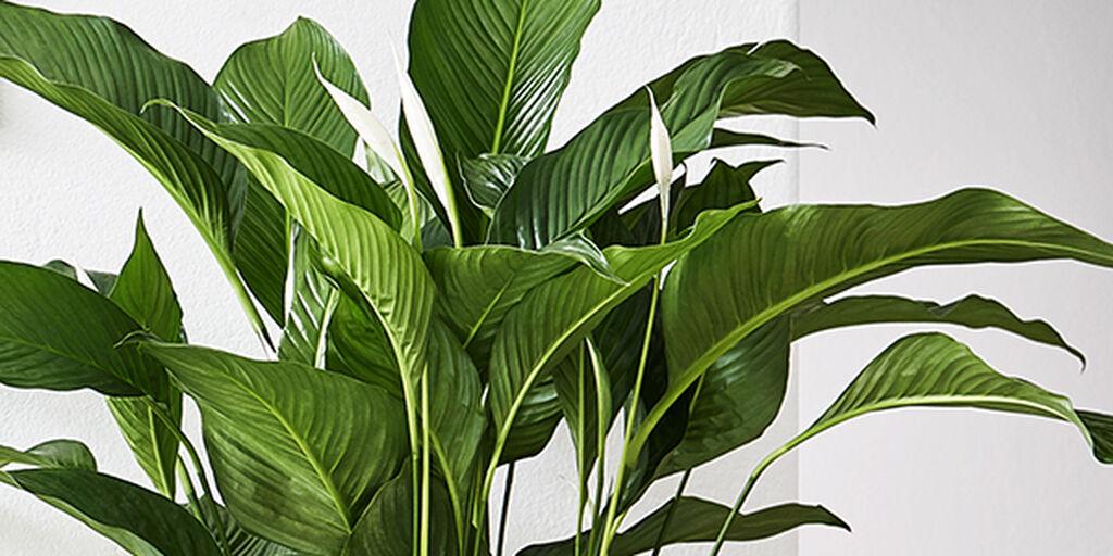 Så fungerar luftrenande växter