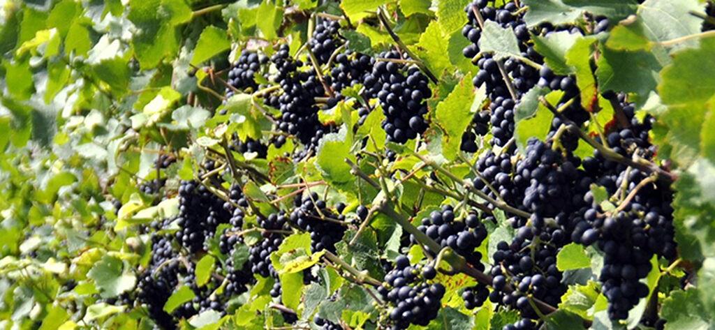Vindruvor – så lyckas du