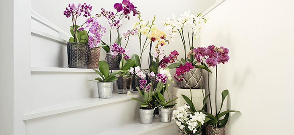 Orkidéer – så lyckas du