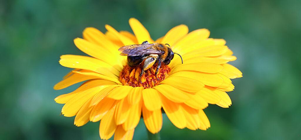 Hjälp pollinerarna i trädgården och få större skörd