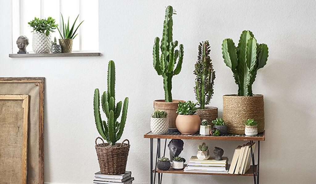 Kaktus - så lyckas du