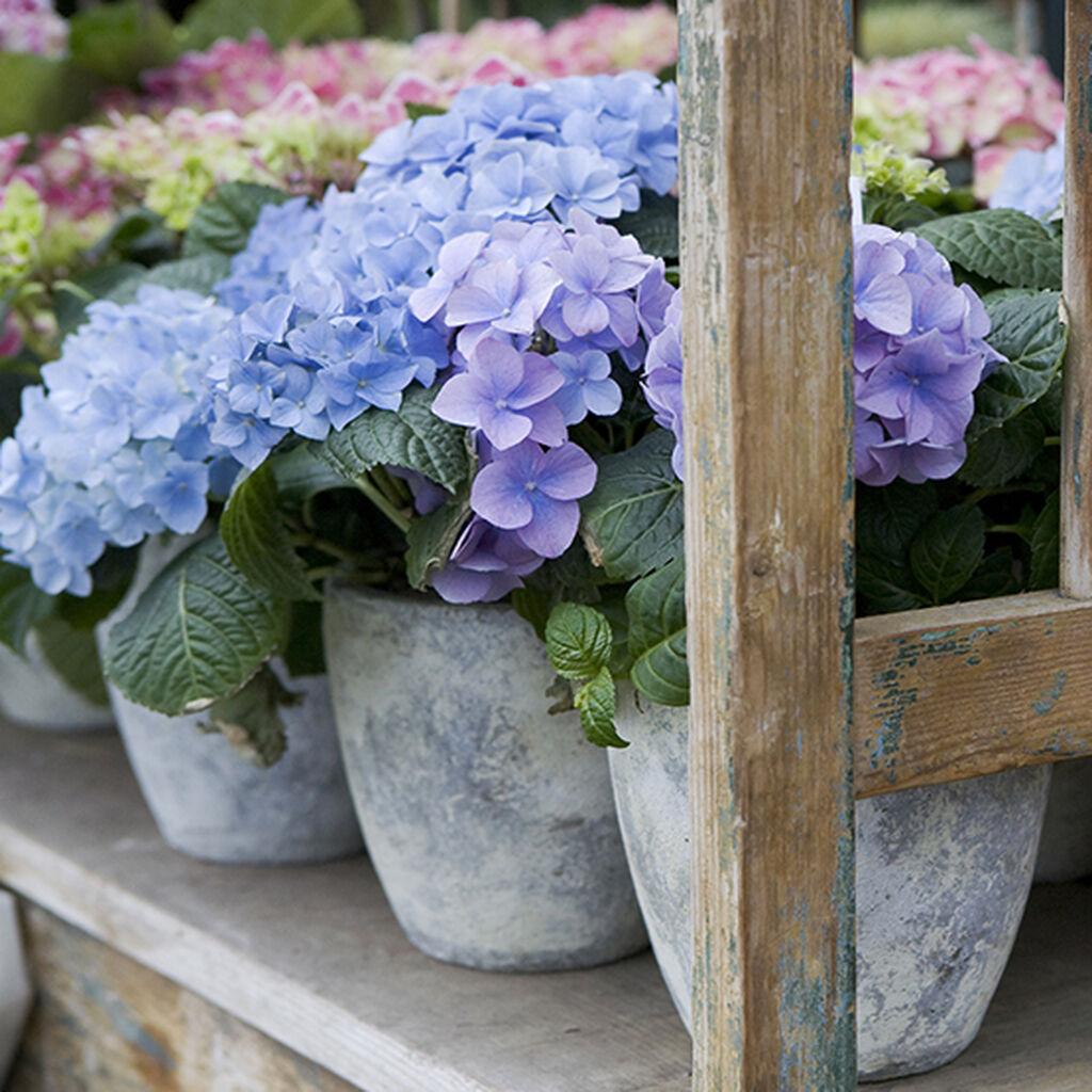 Trädgårdshortensia – så lyckas du