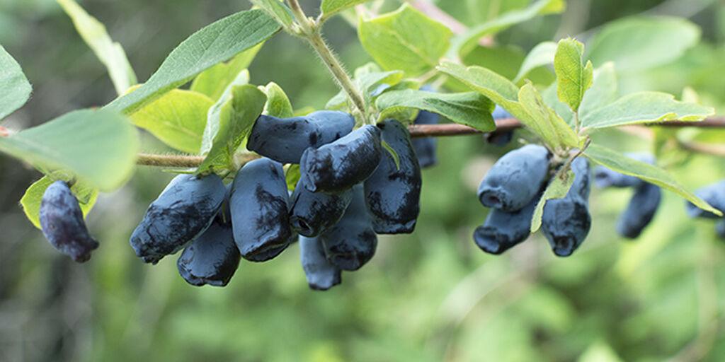 Blåbärstry