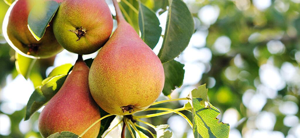 Fruktträd – så lyckas du