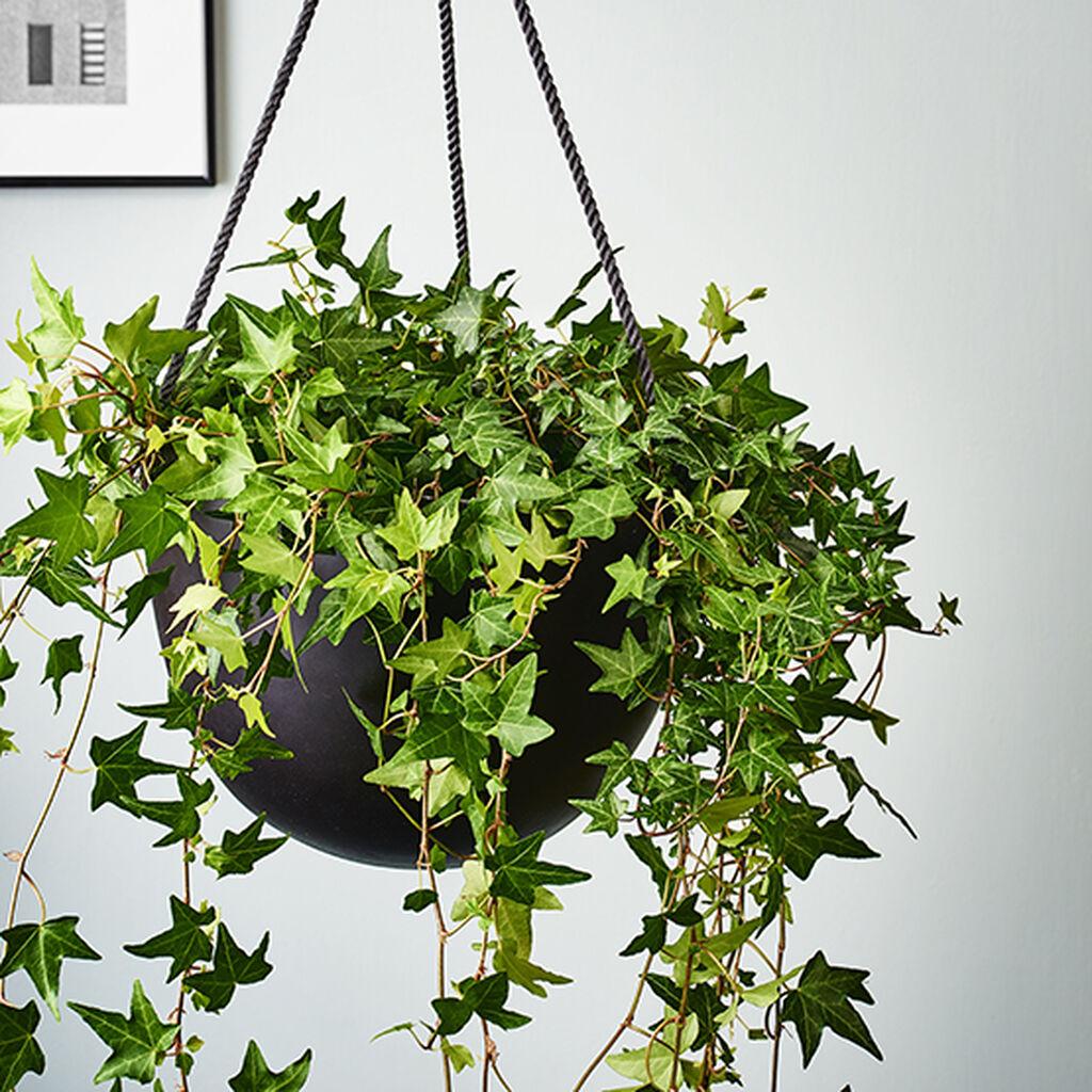 Murgröna – så lyckas du
