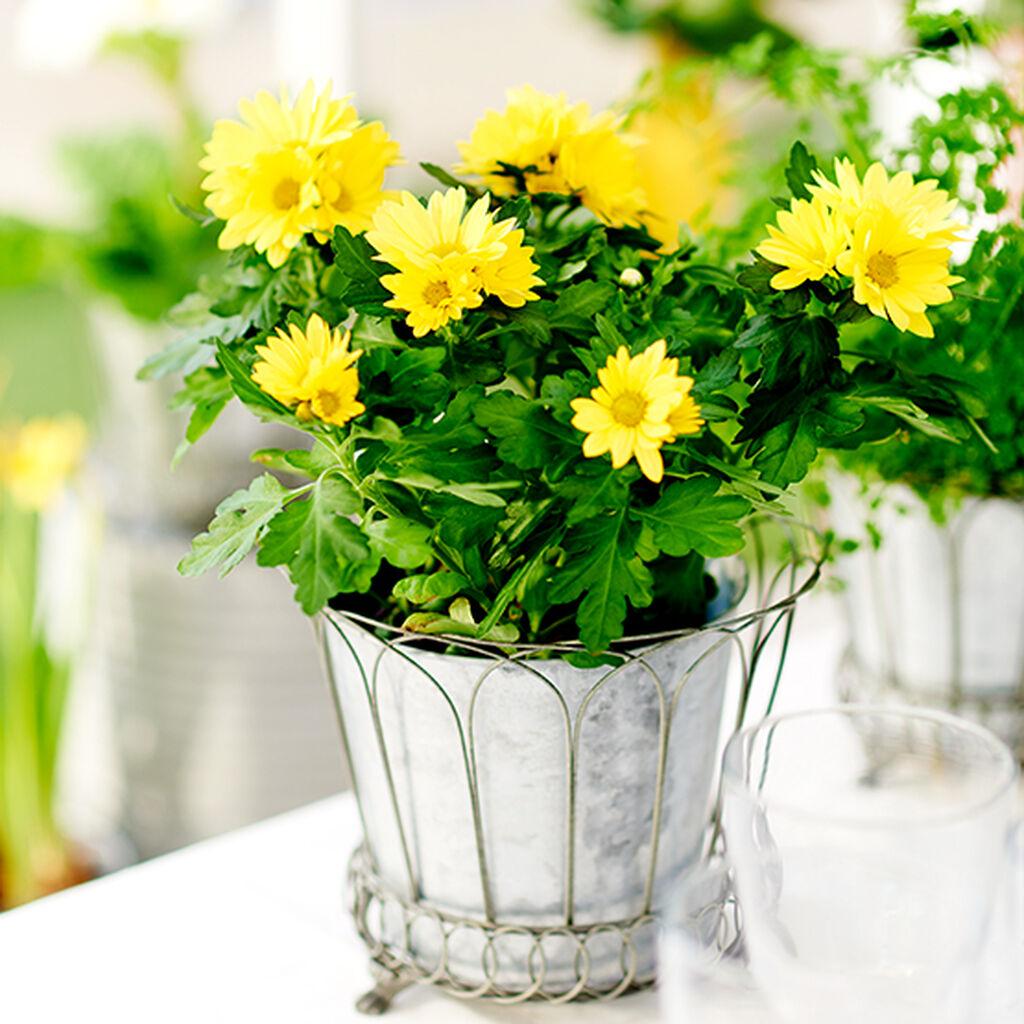 Krysantemum - så lyckas du