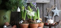 Hyacint - så lyckas du
