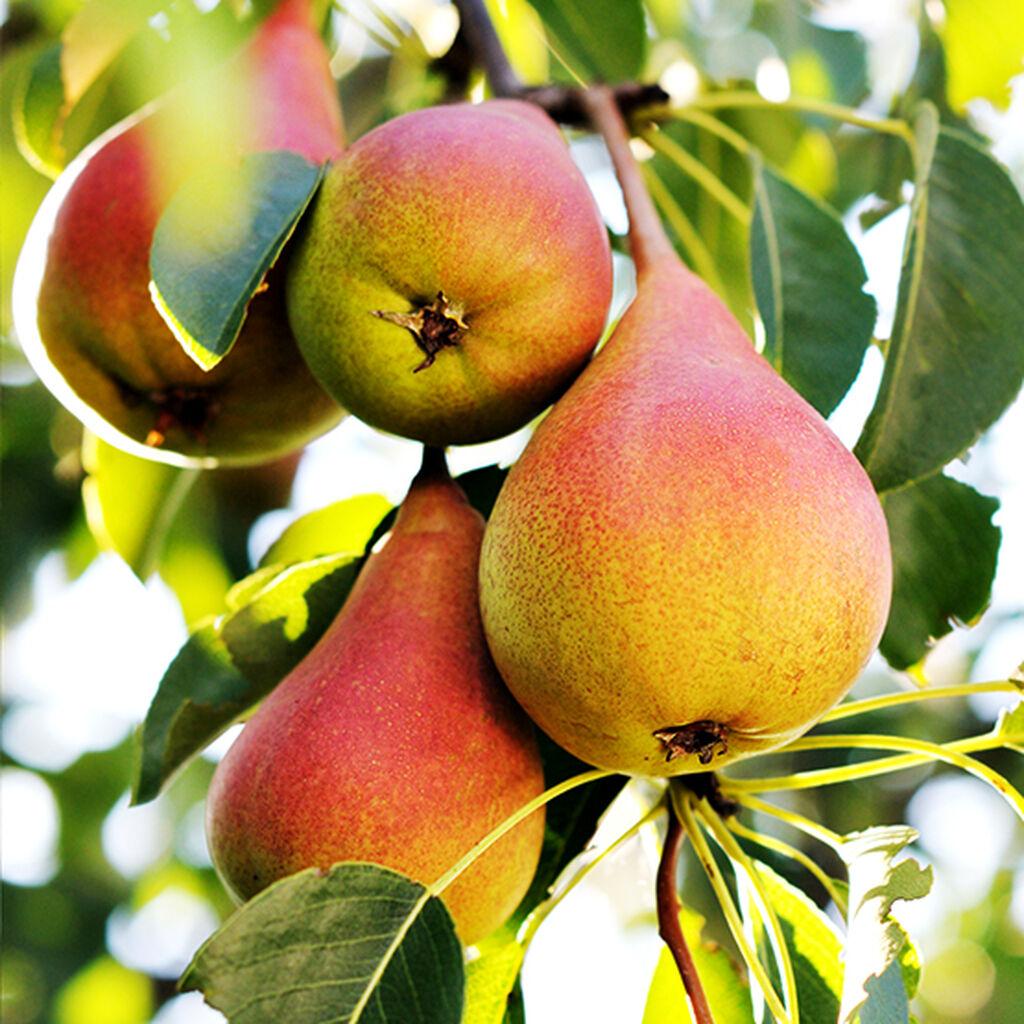 Fruktträd - så lyckas du