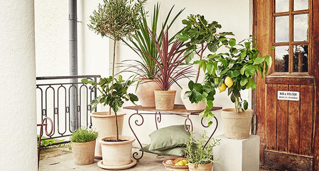 Medelhavsväxter – så lyckas du