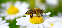 Växter som gynnar bin och pollinering