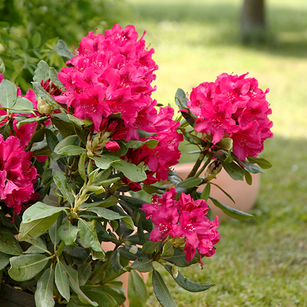 Rododendron – så lyckas du