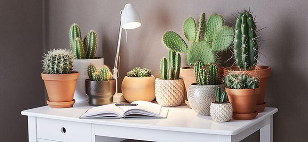 Kaktus – så lyckas du