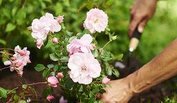 Plantera rosor i trädgården