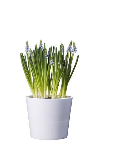 Pärlhyacint, Ø9 cm, Blå