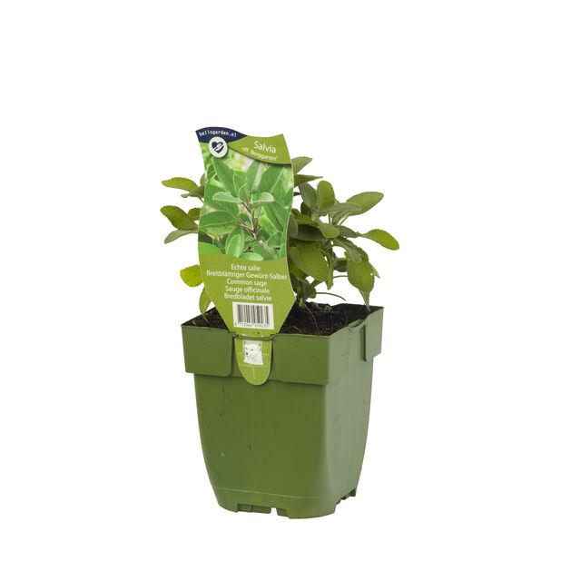 Kryddsalvia 'Berggarten', Höjd 15 cm, Blå