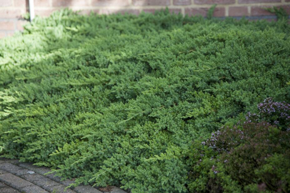 Japansk kryp-en 'Nana', Ø22 cm, Grön