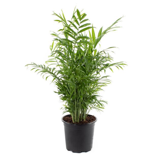 Bergpalm, Höjd 80 cm, Grön