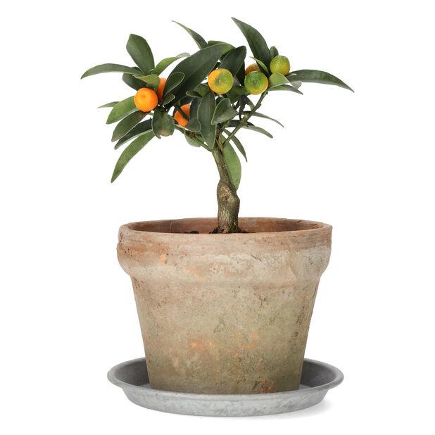 Kumquat , Ø12 cm, Orange