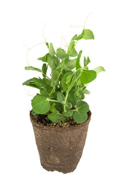 Sockerärtor, Ø10.5 cm, Grön