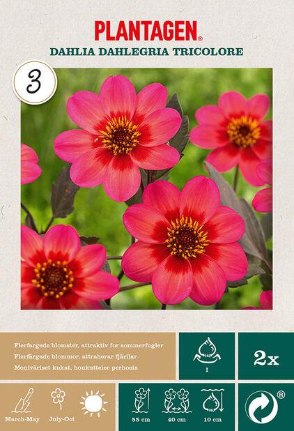 Enkel Trädgårdsdahlia 'Dahlegria Tricolore', Rosa