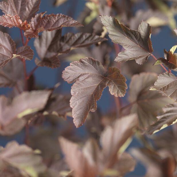 Smällspirea Diabolo, Ø22 cm, Vit