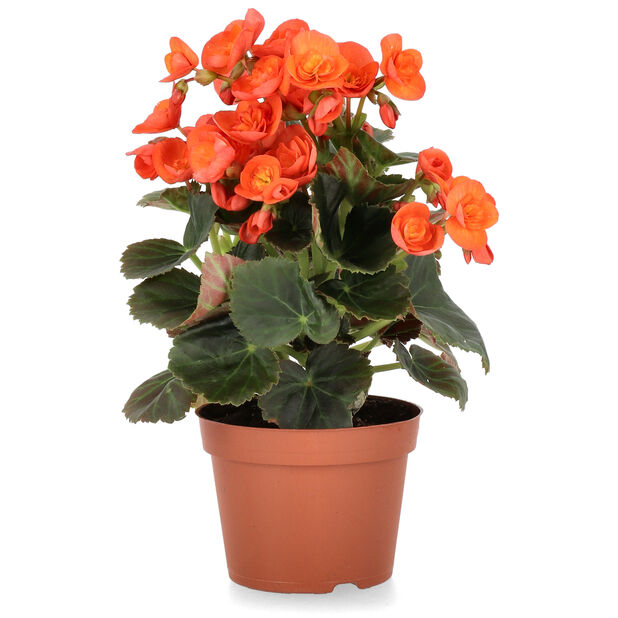 Begonia, Höjd 25 cm, Orange