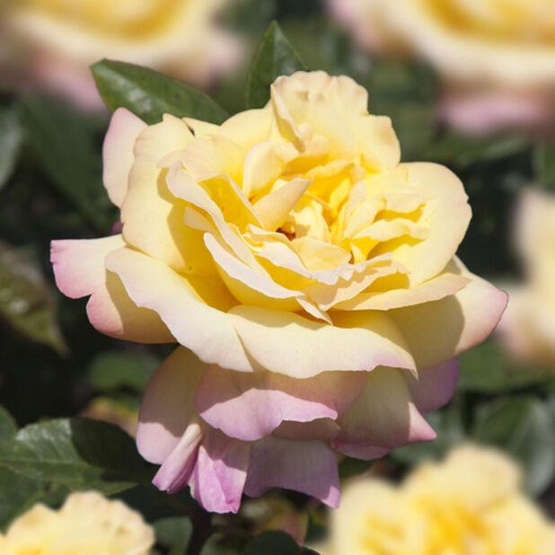 Storblommig ros 'Peace', Höjd 25 cm, Gul