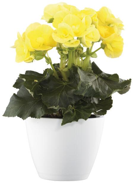 Begonia, Höjd 25 cm, Gul