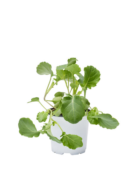 Broccoli KRAV, Ø10.5 cm, Grön