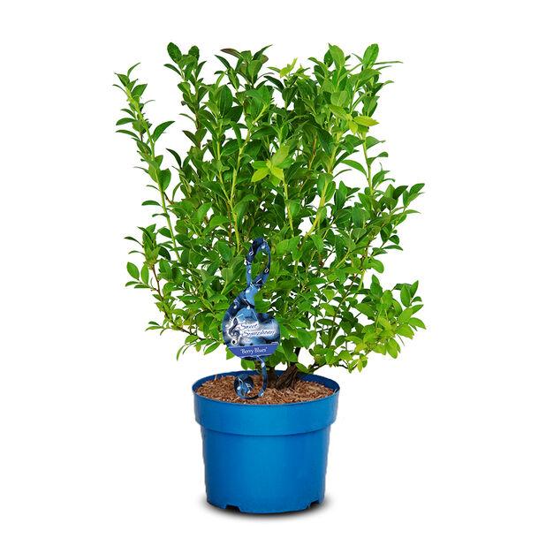 Hybridblåbär ´Berry Blues´, Ø23 cm, Grön