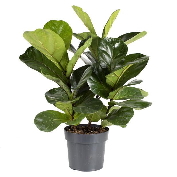 Fiolfikus, Höjd 40 cm, Grön