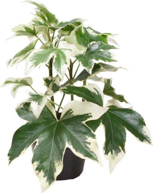 Murgrönsaralia, Höjd 20 cm, Grön